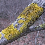 Вредны ли  лишайники  на фруктовых деревьях?
