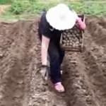 Посадка картофеля мини трактором (без картофелесажалки)
