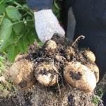 Когда лучше копать картошку?
