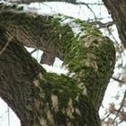 Как уничтожить мох на плодовых деревьях?