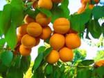 Выращиваем абрикос