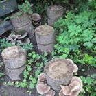 Выращивание грибов на  приусадебном участке на пеньках